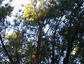 1462227 Evergreen-needles-on-pine-tree 620.jpg
