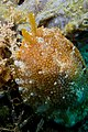 18-EastTimor-Dive Tasi-Tolu 11 (Nudibranch Doriopsilla-Sp)-APiazza.JPG