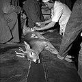 18.05.76 à l'école vétérinaire de Toulouse, opération d'un brocard jeune cerf (1976) - 53Fi901.jpg