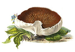 definition of gyromitra