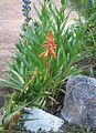 1 Koudeberg Aloe in Kirstenbosch Gardens - Aloe juddii.jpg