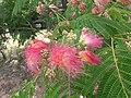 1 flores rosadas texas pink flower tree (6).jpg