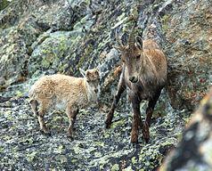 Alpine ibex in the Aosta Valley