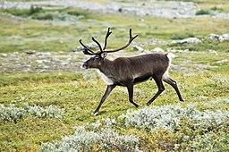 https://upload.wikimedia.org/wikipedia/commons/thumb/a/af/20070818-0001-strolling_reindeer.jpg/256px-20070818-0001-strolling_reindeer.jpg