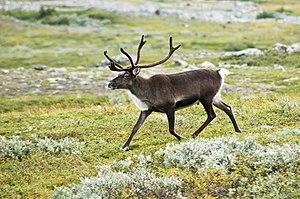 Uma rena da espécie Rangifer tarandus passeando em Lappland, na Suécia