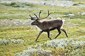 Reindeer - Swedish reindeer walking
