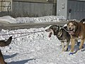 2008 Iditarod Anchorage (2311640545).jpg