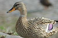 2010-03-18 (34) Wild duck, Stockente, Anas platyrhynchos ginsheim-gustavsburg.JPG