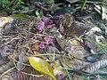 2011-06-06 Marasmius pulcherripes Peck 149934.jpg