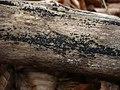 2012-01-07 Bertia moriformis (Tode ex Fries) DeNotaris 194267.jpg