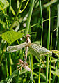2012-06-14 15-25-54-anisoptera.jpg