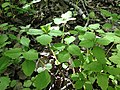 2013-05-04 16 56 00 Impatiens capensis seedlings near the West Branch Shabakunk Creek.jpg