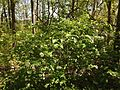 2013-05-05 13 49 32 Flowering bush along the Long Path in Palisades Interstate Park.JPG