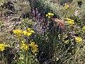 2013-06-27 09 58 40 Wild flowers on Spruce Mountain in Nevada.jpg