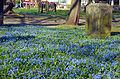 2014-03-27 Alter St. Nikolai Friedhof, Scilla-Blüte auf der im Zuge von Hannover City 2020 + umgestalteten städtischen Parkanlage.jpg