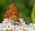 2014-06-26 12-47-58 Brenthis daphne.jpg