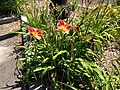 2014-08-02 11 53 12 Daylilies in Elko, Nevada.JPG
