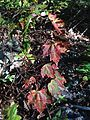 2014-08-25 17 57 52 Early fall coloration in Red Maple foliage along the Appalachian Trail about 9.3 miles northeast of the Delaware Water Gap in Delaware Water Gap National Recreation Area, New Jersey.JPG