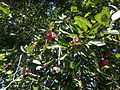 2014-08-29 13 51 09 Apples on an apple tree at the Pinelands Preservation Alliance headquarters in Southampton Township, New Jersey.JPG