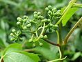 20140512Parthenocissus quinquefolia3.jpg