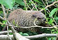 2014 Groundhog in a tree on Cabrini Blvd.jpg