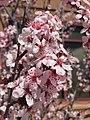 2015-03-25 13 57 03 Purple flowering plum blossoms along 9th Street near Railroad Street in Elko, Nevada.JPG