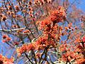 2015-04-12 16 31 55 Male Red Maple flowers on Bayberry Road in Ewing, New Jersey.jpg