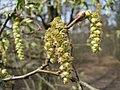 20150403Carpinus betulus3.jpg
