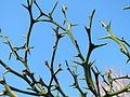 20151224Citrus trifoliata1.jpg