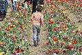 2015 International Tulipa Fair, Chrzypsko Wielkie (9).JPG
