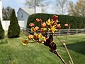 2016-04-21 13 01 11 Flowers of 'Crimson King' Norway Maple along Tranquility Court in the Franklin Farm section of Oak Hill, Fairfax County, Virginia.jpg
