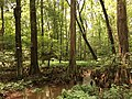 2016-07-20 14 27 53 Bald Cypress trees with knees at the Battle Creek Cypress Swamp in Calvert County, Maryland.jpg