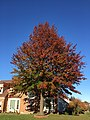 2017-11-10 15 19 42 Pin Oak during late autumn along Kinross Circle near Scotsmore Way in the Chantilly Highlands section of Oak Hill, Fairfax County, Virginia.jpg