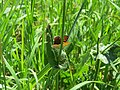 2018-05-13 (181) Female Lycaena tityrus (Sooty Copper) at Bichlhäusl in Frankenfels, Austria.jpg