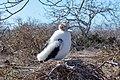 20180805-Great frigatebird (juvenile) at Seymour Norte-2 (9248).jpg