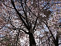 2020-03-22 13 09 20 View up into the canopy of an Autumn Cherry blooming along Lees Corner Road in the Franklin Farm section of Oak Hill, Fairfax County, Virginia.jpg