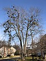 2021-01-16 11 35 38 A large Red Maple with multiple instances of Mistletoe along Elderberry Place in the Franklin Glen section of Chantilly, Fairfax County, Virginia.jpg