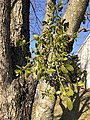 2021-03-11 15 48 45 Mistletoe on a Red Maple along Still Pond Lane in the Franklin Farm section of Oak Hill, Fairfax County, Virginia.jpg