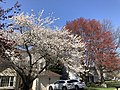 2021-04-04 15 49 41 A Red Maple covered in immature seeds and a cherry blooming along Ladybank Lane in the Chantilly Highlands section of Oak Hill, Fairfax County, Virginia.jpg