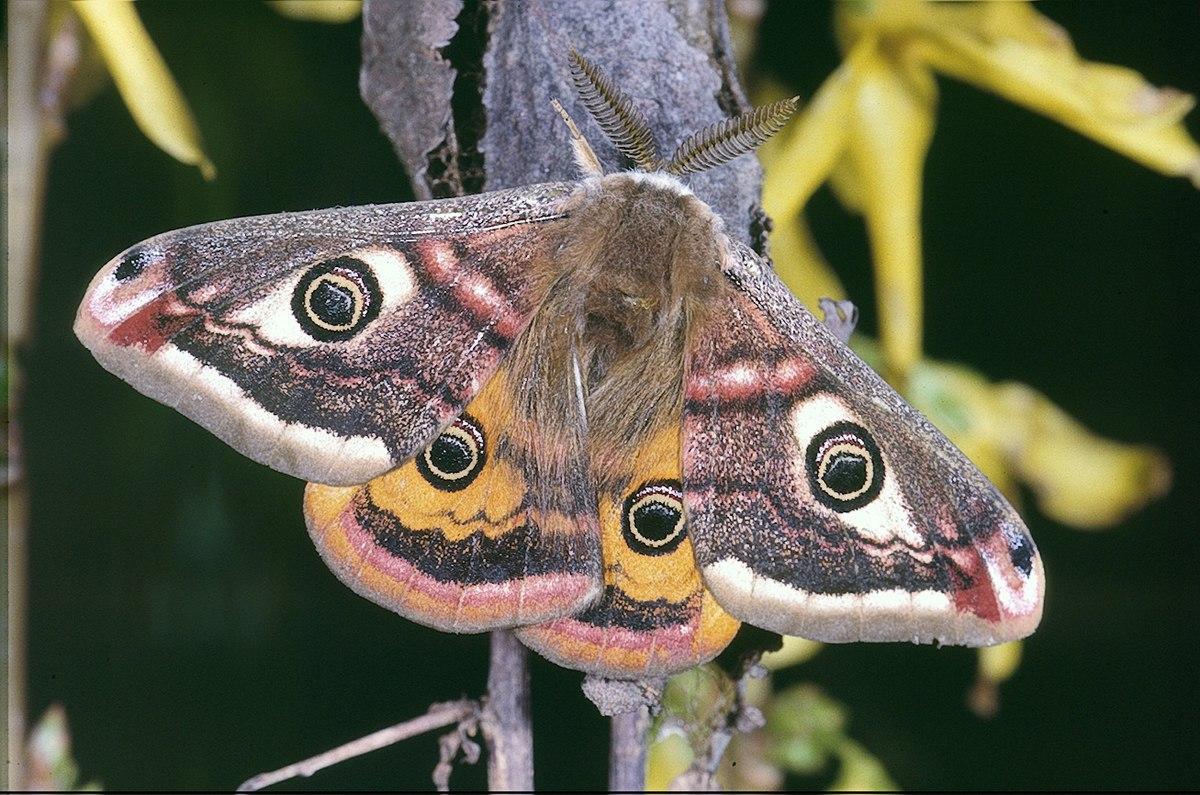 vlinders  Volkoomen