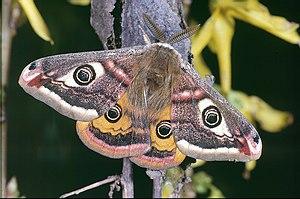 Kleines Nachtpfauenauge (Männchen) (Saturnia pavonia)