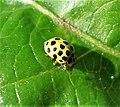 22 spot Ladybird Psyllobora vigintipunctata (26145854909).jpg