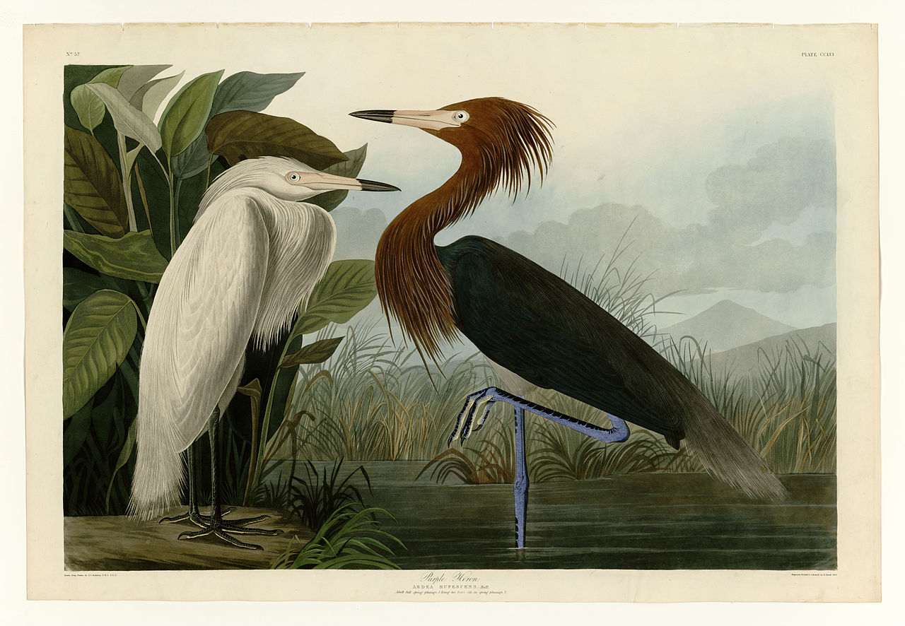 Image result for audubon birds