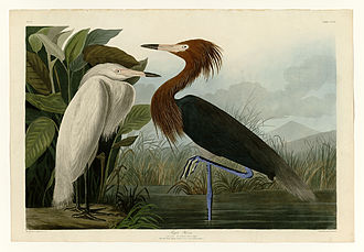 D-Scribe Digital Publishing - Plate 256, Purple Heron, of Pitt's digitized collection of Audubon's  The Birds of America
