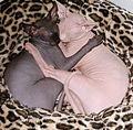 2 Sphynx cats sleeping together.jpg