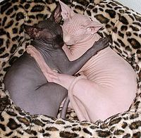 2 Sphynx cats sleeping together.jpg
