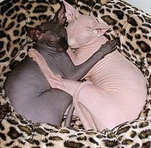 Two Sphynx females sleeping, black and white colors