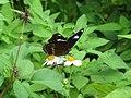 318.1琉球紫蛺蝶16(林麗娟攝) (19038923532).jpg