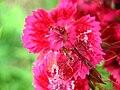 4951 - Mürren-Gimmelwald - Formicidae on Flowers.JPG