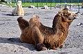 50 Jahre Knie's Kinderzoo - Camelus bactrianus (Trampeltier) 2012-10-03 15-11-20.JPG